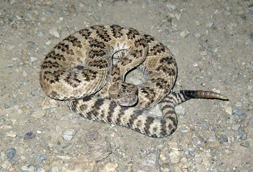 great_basin_rattlesnake